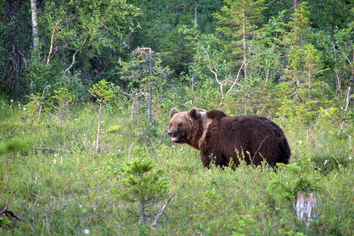 Bear Watching